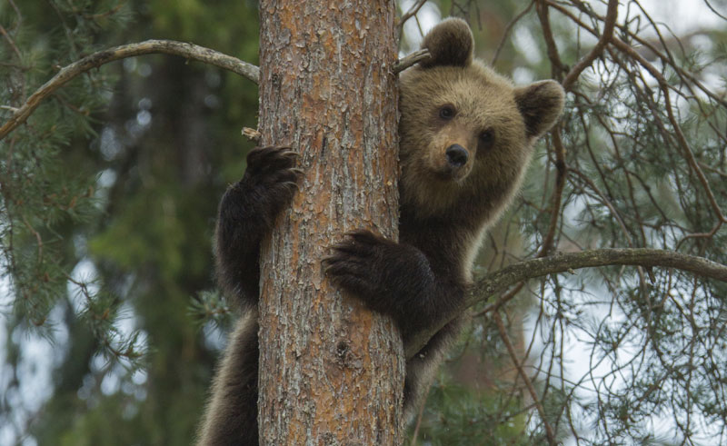 east finland brown bear up tree istock