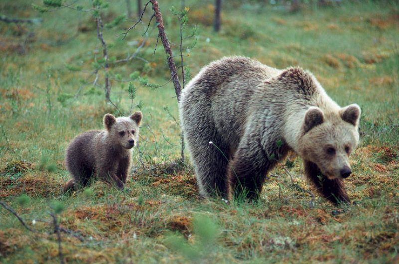 east finland brown bears and cub vf