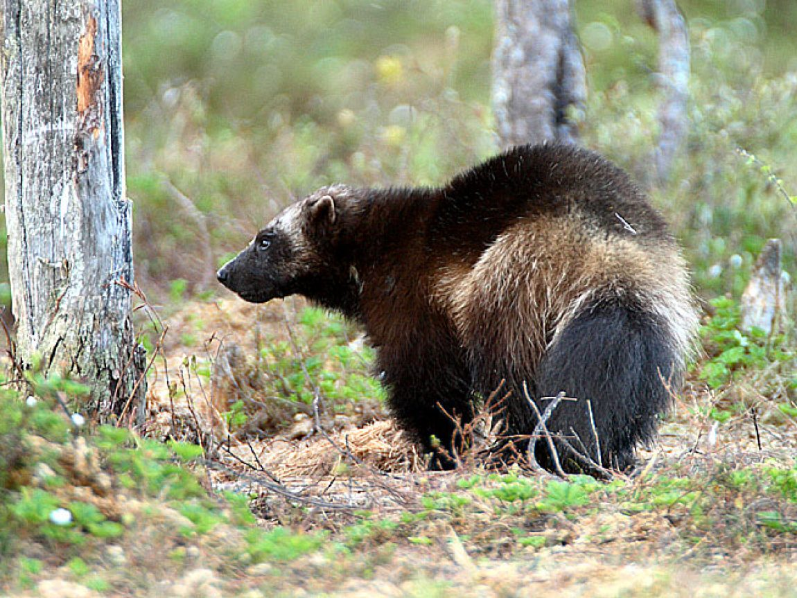 east finland wildlife wolverine