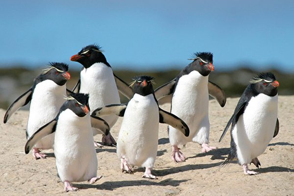 falkland islands rockhopper penguins fitb
