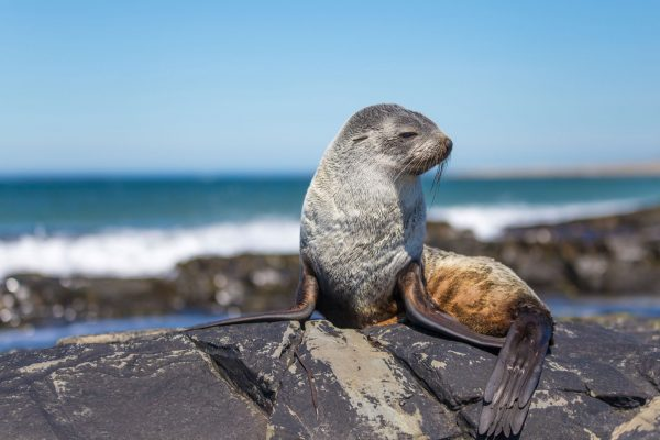 falklands wildlife fur seal sstk