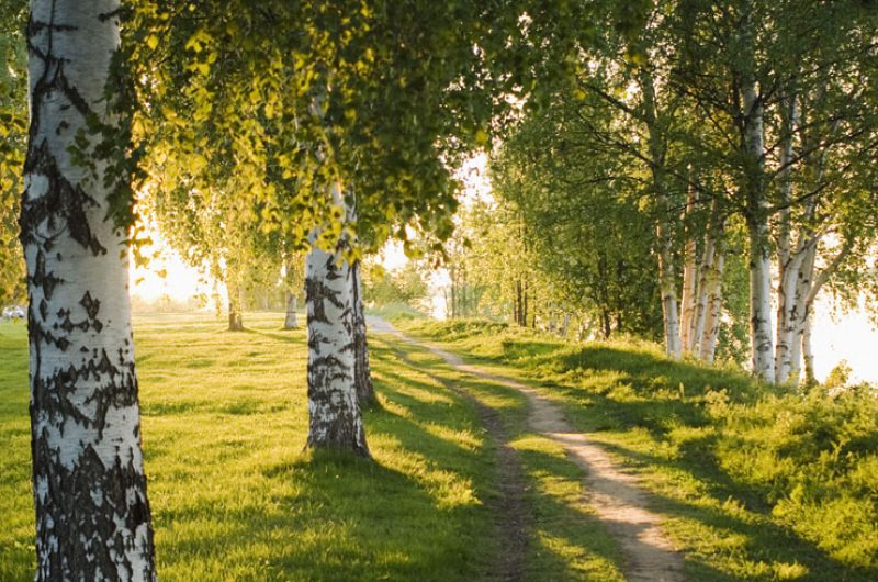 finland birch trees summer vf