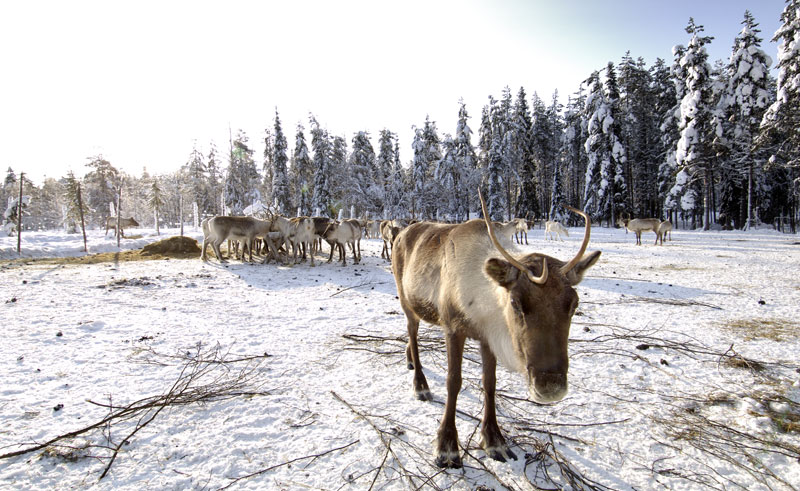 finland lapland reindeer grazing is
