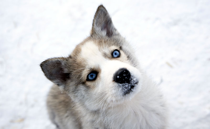 finnish lapland husky blue eyes vf