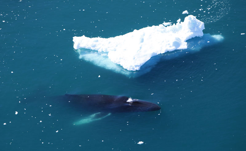 greenland west coast ilulissat icefjord humpback whale vg