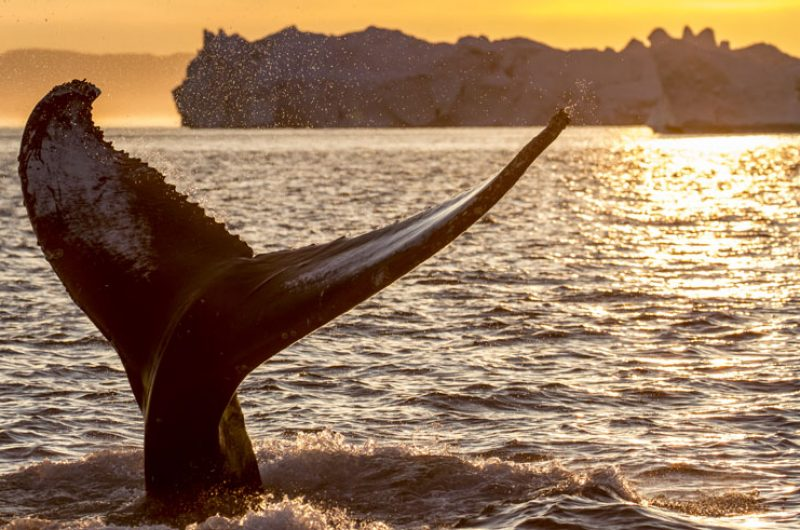 greenland wildlife whale tail midnight sun vg