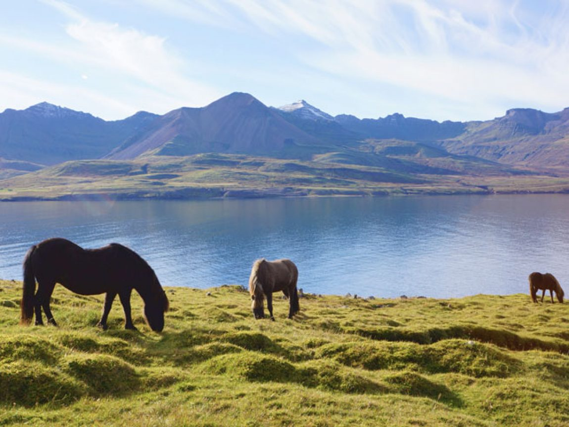 iceland east fjords horses grazing mei