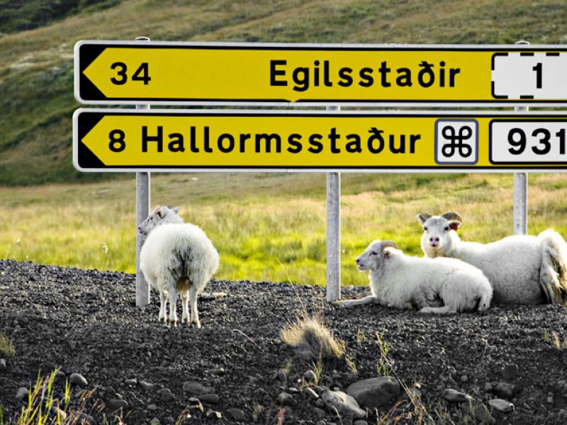 iceland east fjords road sign sheep istock