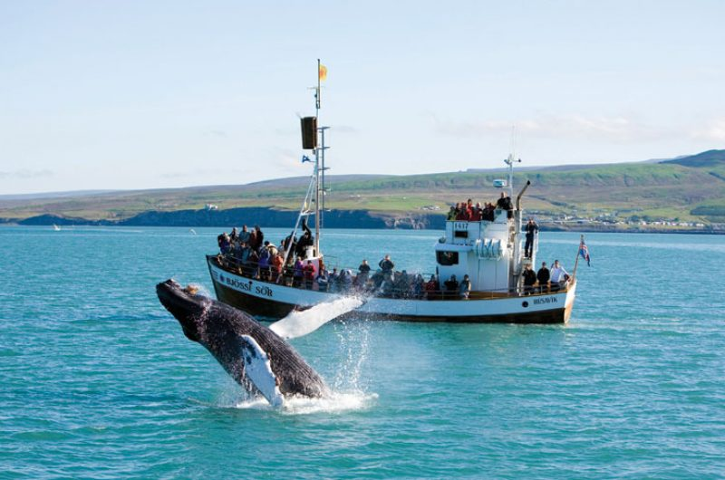 iceland north east husavik whale watching rth