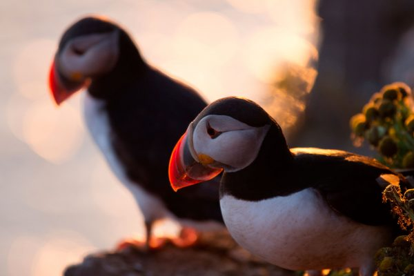 iceland puffin pair sunset adstk
