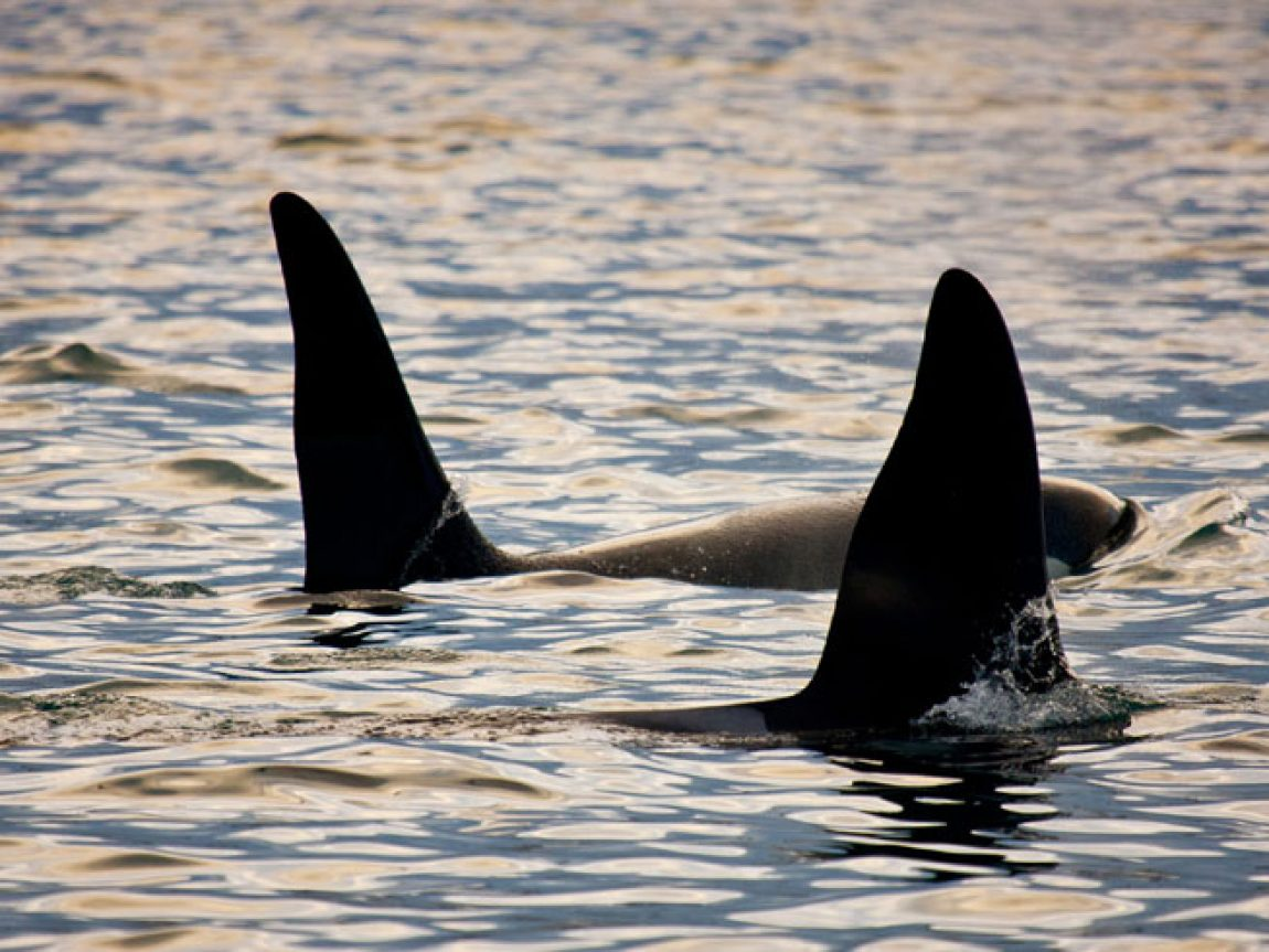 iceland snaefellsnes wildlife orcas rth
