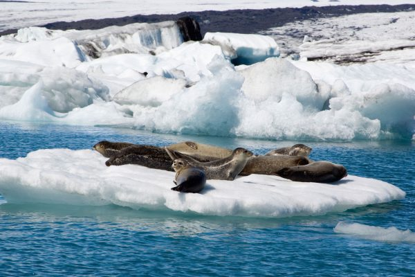 iceland south east jokulsarlon seals istk