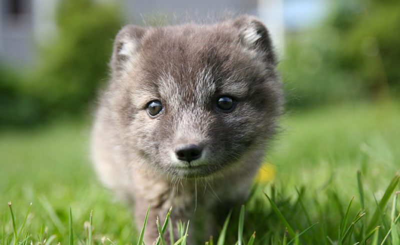 iceland west fjords arctic fox ba