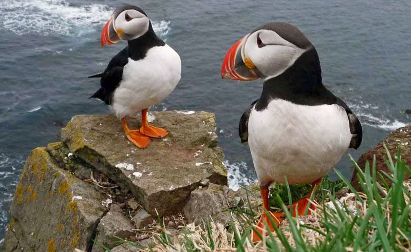 iceland west fjords latrabjarg cliffs puffins client mt