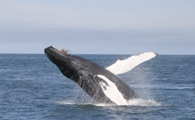 iceland wildlife humpback whale rth