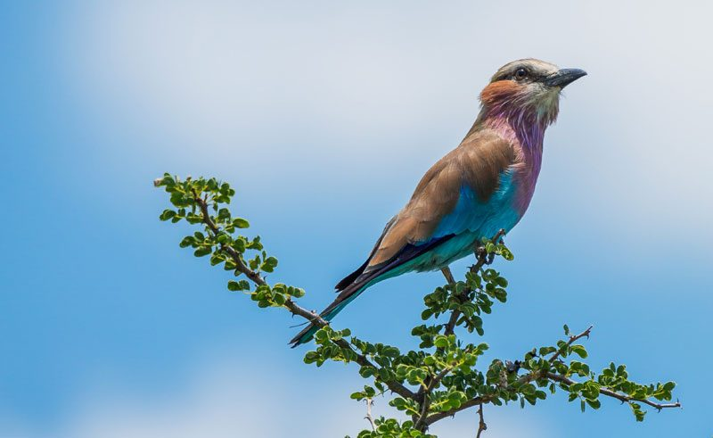 namibia birdlife lilac breasted roller rth