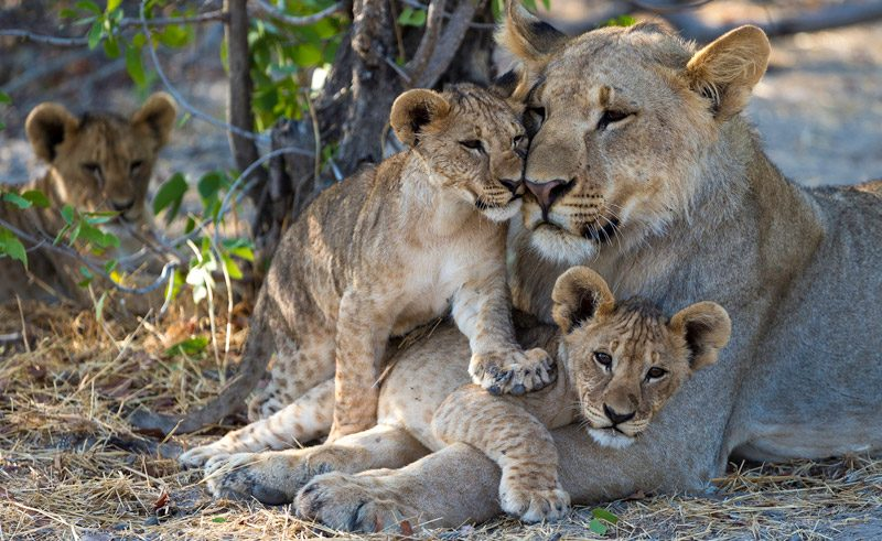 namibia etosha lion and cubs at ongava