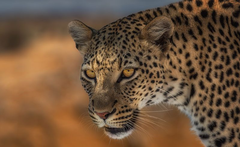namibia wildlife leopard closeup rth