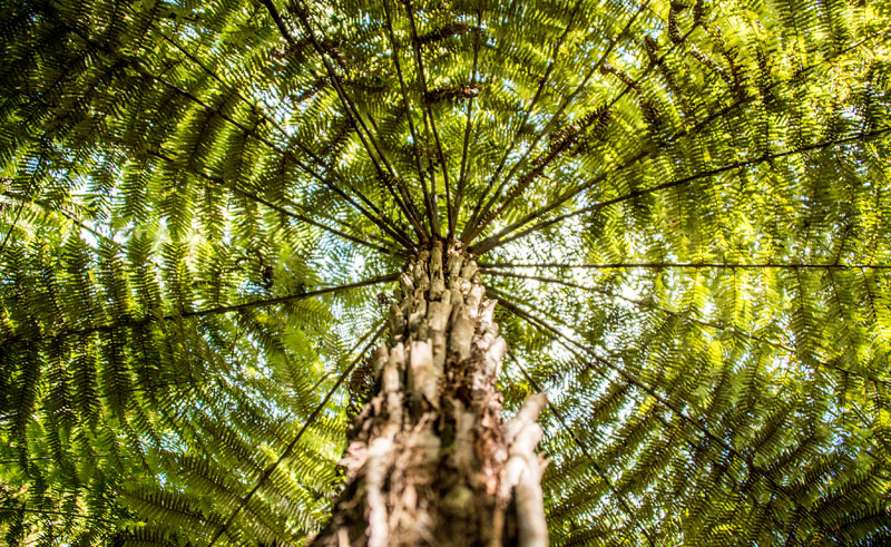 new zealand au kauri tree istock