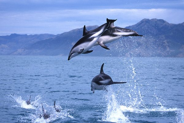 new zealand kaikoura dolph en