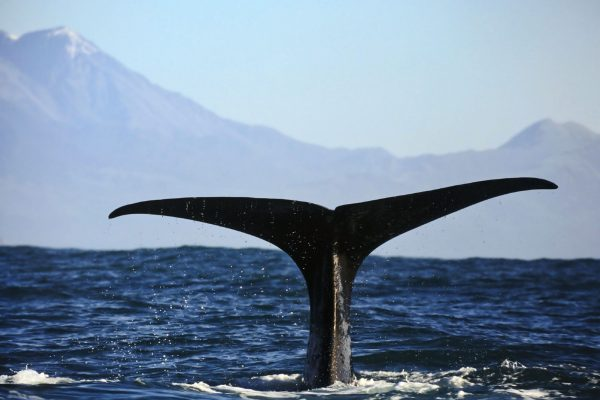 new zealand kaikoura sperm whale fluke istk