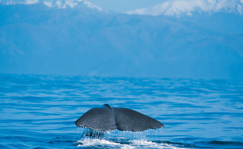 new zealand kaikoura whale tail2 tnz