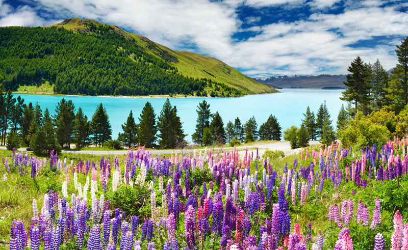 new zealand lake tekapo and lupins gpt