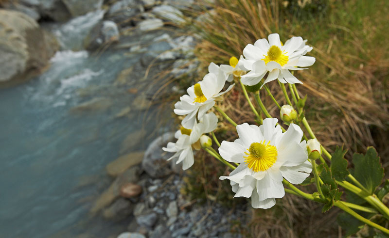 new zealand mt cook region lillies amc