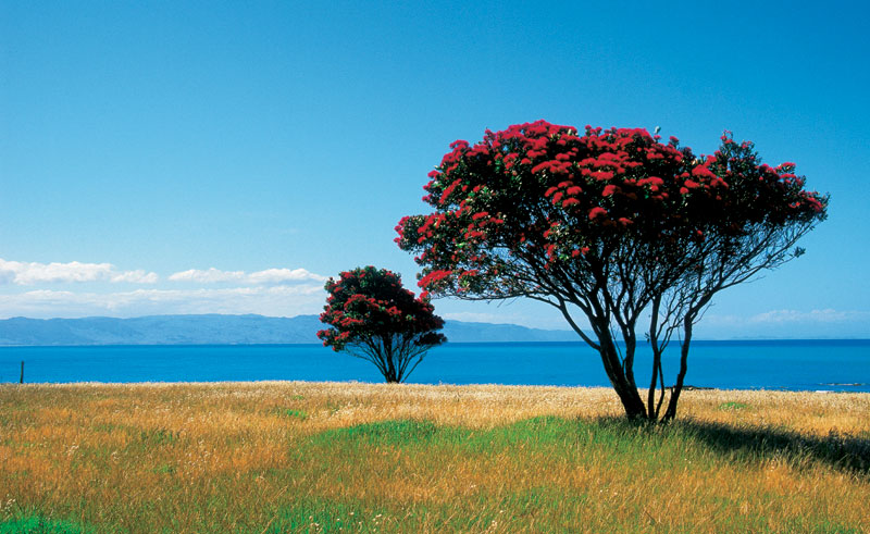 new zealand north island pohutukawa trees tnz