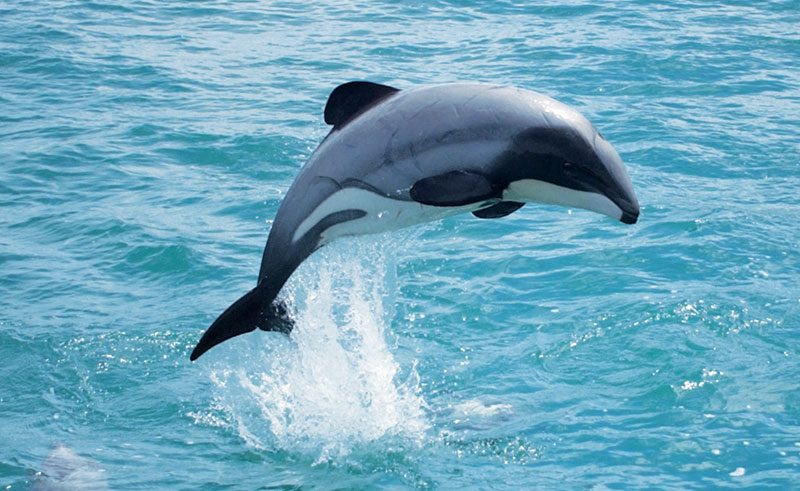 new zealand wildlife hectors dolphin bcc