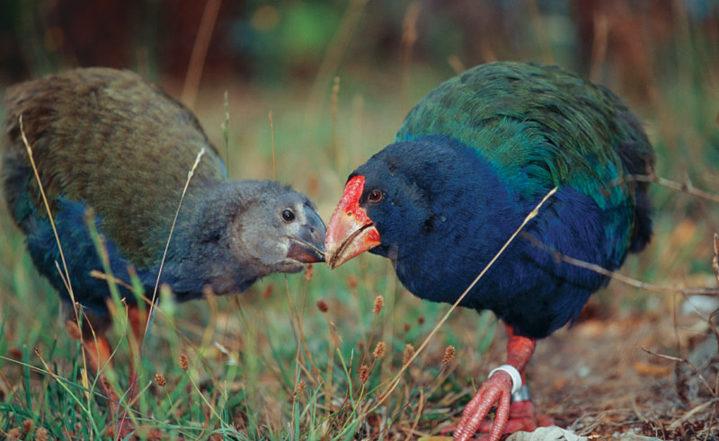 new zealand wildlife takahe tnz