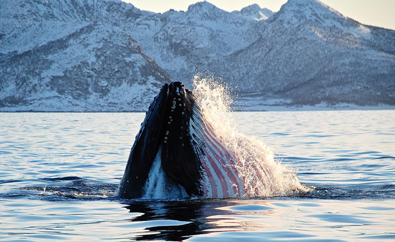northern norway senja humpback whale hs