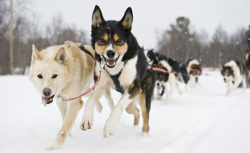 norway finnmark husky sledding winter vn