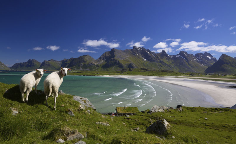 norway lofoten istock sheep