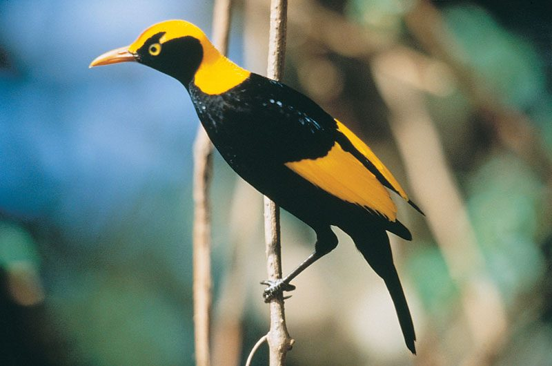 oreillys rainforest retreat regent bowerbird
