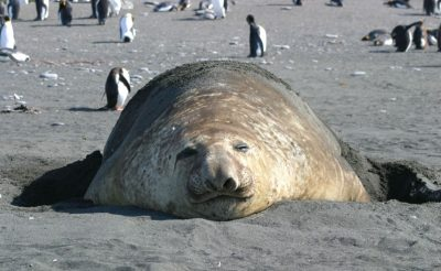 south georgia elephant seal gt