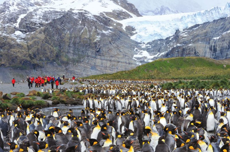 south georgia gold harbour king penguin colony ze
