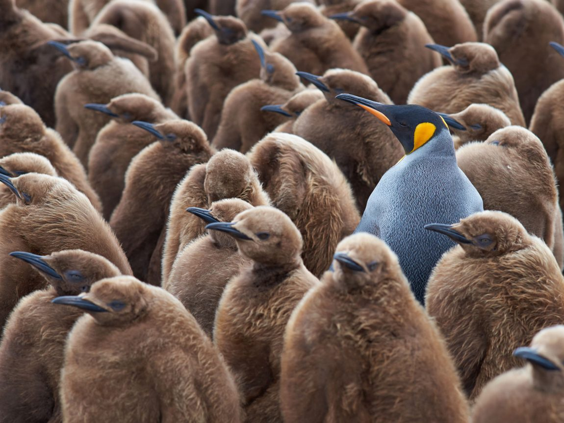 south georgia king penguin creche istk