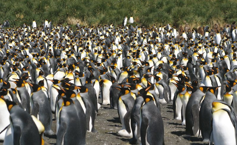 south georgia king penguin rookery gt