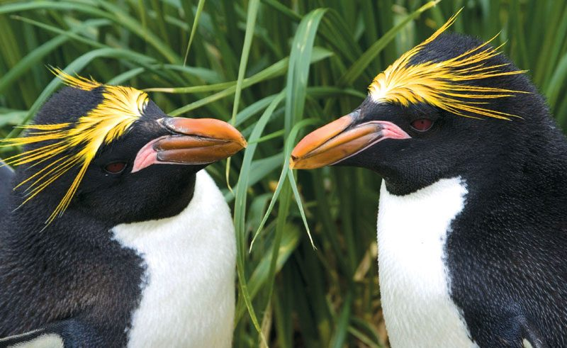 south georgia macaroni penguins ze