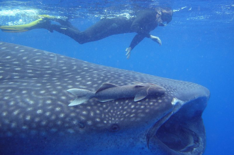 st helena whale shark at