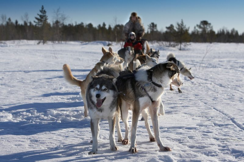 sweden lapland husky team at rest rth