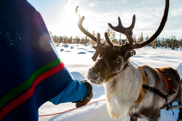 sweden lapland reindeer with sami vs