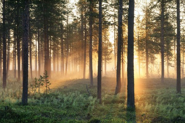 Sunlight filtered through forest in Varmland
