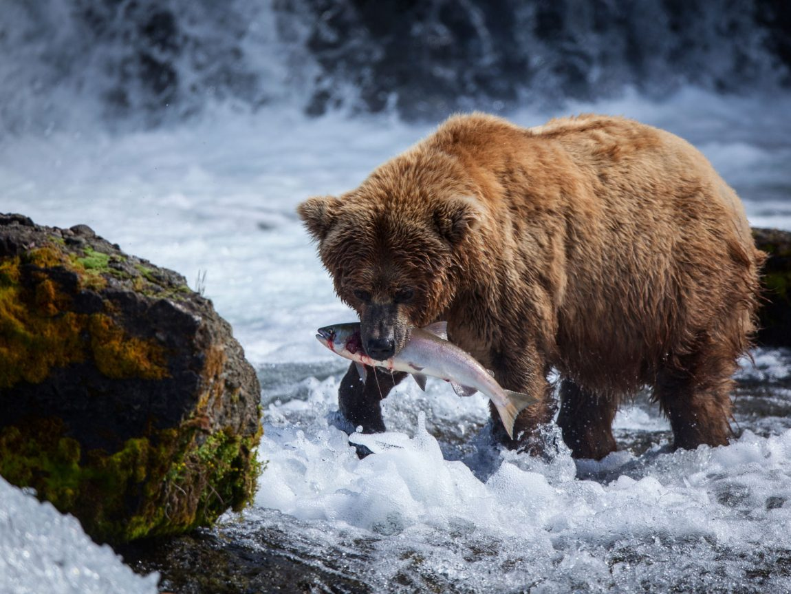 alaska south brooks falls brown bear feasting on salmon astock