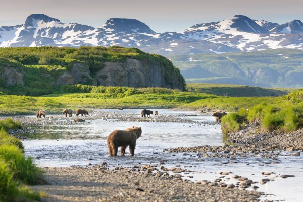 alaska south katmai national park brown bears by river istk