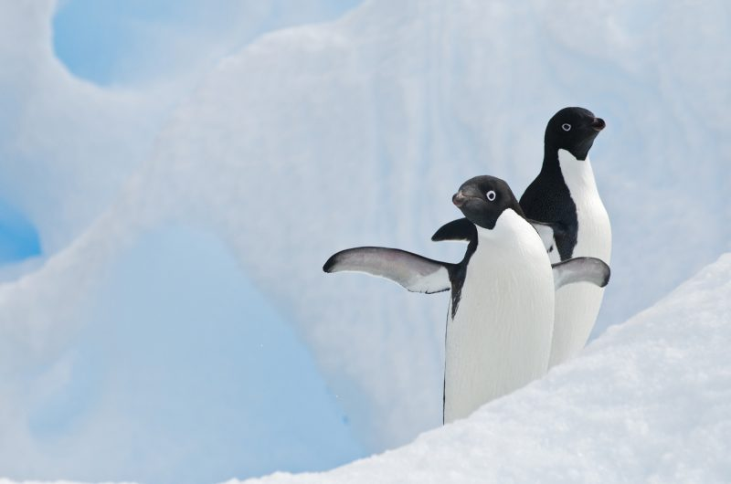 antarctica adelie penguins and blue ice istock