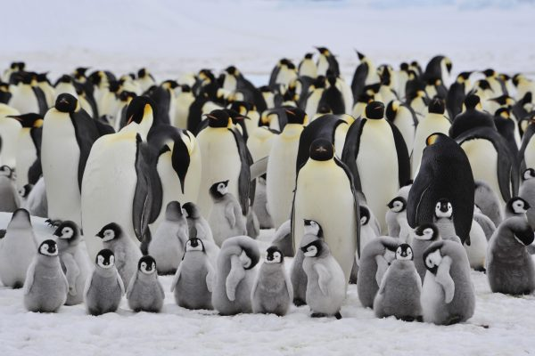 antarctica emperor penguin colony with chick istk