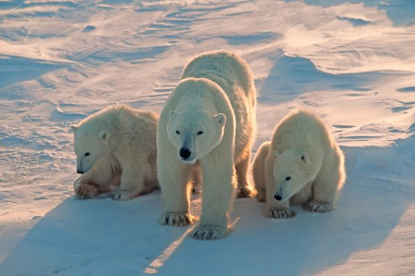 arctic wildlife polar bear mother and cubs in sunlight istk