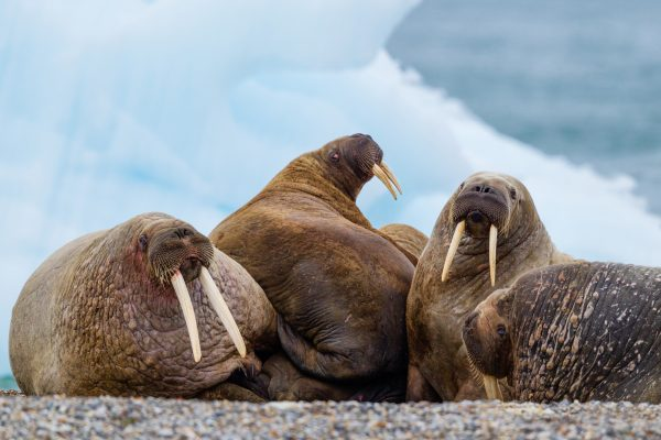 Male walrus hauled out on beach